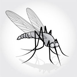 Drawing of mosquito